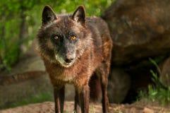 El lobo negro (lupus de Canis) mira fijamente hacia fuera Imagen de archivo