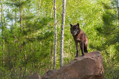 El lobo negro (lupus de Canis) se coloca encima de Den Horizontal Fotos de archivo