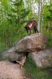 El lobo negro (lupus de Canis) se coloca encima de Den Watching Pups Belo Imágenes de archivo libres de regalías