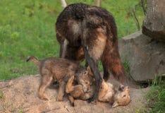 El lobo negro (lupus de Canis) se coloca sobre jugar perritos Imagen de archivo libre de regalías
