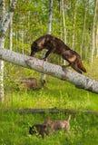 El lobo negro (lupus de Canis) sube para arriba el árbol Fotografía de archivo