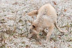 El lobo rubio (lupus de Canis) se divierte en Autumn Snowfall temprano Fotos de archivo libres de regalías