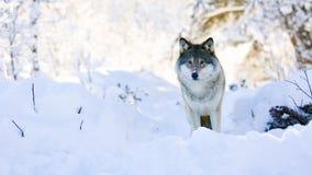 El lobo se coloca en bosque hermoso del invierno almacen de metraje de vídeo