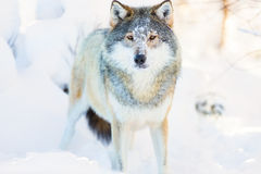 El lobo se coloca en bosque hermoso y frío del invierno Foto de archivo