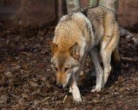 El lobo se escabulle su cabeza abajo, mirada lobuna Lobo gris despredador potente en el bosque en primavera temprana fotos de archivo libres de regalías
