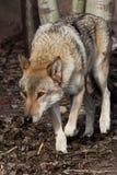 El lobo se escabulle su cabeza abajo, mirada lobuna Lobo gris despredador potente en el bosque en primavera temprana imagen de archivo