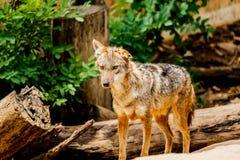 El lobo va abajo de la trayectoria en el bosque Fotografía de archivo