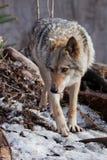 El lobo va y mira Lobo gris despredador potente en el bosque en primavera temprana fotos de archivo libres de regalías