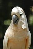 El loro blanco del macaw Foto de archivo