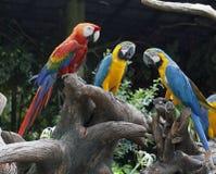 El loro coloreado multi Fotos de archivo