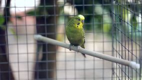 El loro ondulado se sienta en una perca en una jaula del parque zoológico, más allá de la gente va almacen de video