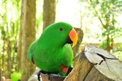 El loro verde hermoso en el registro de madera fotografía de archivo