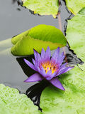 El loto azul/el lirio de agua con verde se va en la charca Fotos de archivo libres de regalías