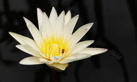 El loto blanco/el lirio de agua con verde se va en la charca Fotos de archivo libres de regalías