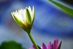 El loto blanco está floreciendo Imagen de archivo