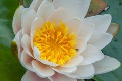 El loto blanco floreció en brillante y la sol de restauración de la mañana ofrece un ambiente relajante foto de archivo libre de regalías