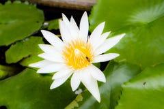 El loto de la pureza Imagen de archivo