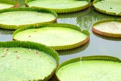 El loto gigante Foto de archivo libre de regalías