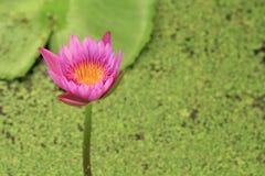El loto hermoso en una charca Fotografía de archivo libre de regalías