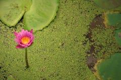 El loto hermoso en una charca Foto de archivo libre de regalías