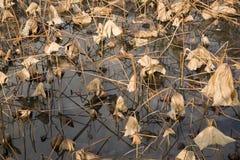El loto muerto sale de la reflexión fotografía de archivo