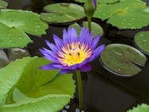 El loto púrpura Fotografía de archivo