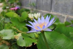 El loto púrpura y amarillo es flor hermosa en la parte posterior verde de la naturaleza Foto de archivo