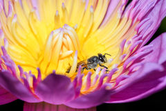 El loto rosado con la abeja está recogiendo el néctar Fotos de archivo