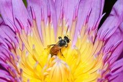 El loto rosado con la abeja está recogiendo el néctar Fotografía de archivo