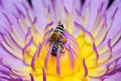 El loto rosado con la abeja está recogiendo el néctar Foto de archivo libre de regalías
