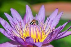 El loto rosado con la abeja está recogiendo el néctar Imagen de archivo