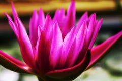 El loto rosado de la floración del color imagen de archivo