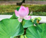 El loto rosado, riega lilly, floración abierta hermosa Imagen de archivo libre de regalías