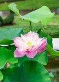 El loto rosado, riega lilly, floración abierta hermosa Foto de archivo libre de regalías