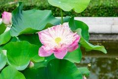 El loto rosado, riega lilly, floración abierta hermosa Imagen de archivo