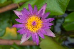 El loto y la abeja púrpuras hermosos acumulan en el parque Fondo Fotografía de archivo