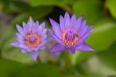 El loto y la abeja púrpuras hermosos acumulan en el parque Fondo Foto de archivo