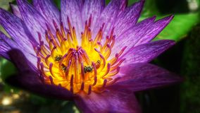 El loto y las abejas púrpuras Fotografía de archivo libre de regalías