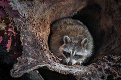 El lotor del Procyon del mapache se agacha en registro Fotos de archivo