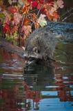 El lotor del Procyon del mapache se inclina hacia fuera en registro Foto de archivo libre de regalías