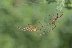 El luchar de dos arañas Imágenes de archivo libres de regalías