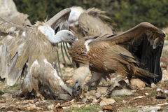 El luchar de dos buitres de griffon Imagen de archivo