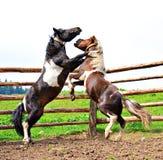 El luchar de dos caballos Fotografía de archivo libre de regalías