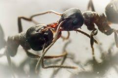 El luchar de dos hormigas Foto de archivo libre de regalías