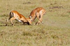 El luchar de dos impalas Imagen de archivo