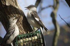 El luchar de dos Mockingbirds Foto de archivo