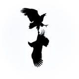 El luchar de las águilas de mar foto de archivo libre de regalías