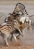 El luchar de las cebras Imagen de archivo libre de regalías