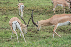 El luchar de las gacelas Fotografía de archivo