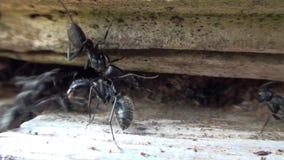 El luchar de las hormigas almacen de metraje de vídeo